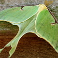 Maryland Luna Moth by Joshua Bales