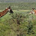 Masai Mara Giraffe by Aidan Moran