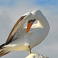 Masked Booby by Alan Lenk