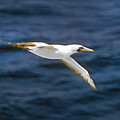 Masked Booby by Buddy Mays
