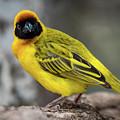 Masked Weaver Bird Facing Camera On Log by Ndp