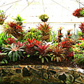 Massed Bromeliad In Hothouse by Nareeta Martin