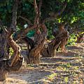 Mastic Tree   by Emmanuel Panagiotakis