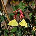 Matched Pair Of Sulfur Butterflies by Douglas Barnett