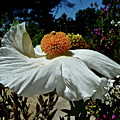 Matilija Poppy Two by Diana Hatcher