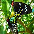 Mating Butterflies by Trudee Hunter