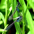 Mating Damselflies by J M Farris Photography