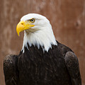 Mature Adult Bald Eagle by Richard Lee