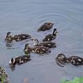 Maturing Ducklings by Belinda Stucki