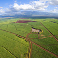 Maui Sugar Cane by Ron Dahlquist - Printscapes