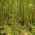 Maui's Thick Bamboo by Cory Huchkowski