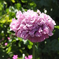 Mauve Peony Poppy by Helen Penwill