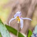 Mauve Trout Lily by Nikki Vig