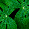 Mayapple Leaves by Walt Sterneman