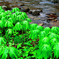 Mayapples And Middle Fork Of Williams River by Thomas R Fletcher