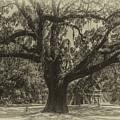 Mcleod Plantation Majestic Oak by Dale Powell