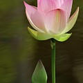 Pink Lotus And A Bud by Sabrina L Ryan