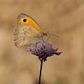 Meadow Brown Butterfly by Jeff Townsend