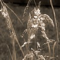 Meadow Grass In Sepia by RC DeWinter