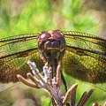 Meadow Hawk Dragonfly 2 by Mitch Shindelbower