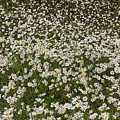 Meadow Of Daises Wildflowers Panorama by James BO Insogna