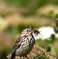 Meadow Pipit With Food by Bob Kemp
