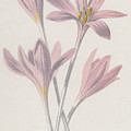 Meadow Saffron by Frederick Edward Hulme