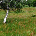 Meadow With Birch Trees by Valerie Ornstein