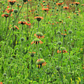 Meadow With Orange Wildflowers by Robert Hamm