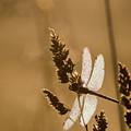 Meadowhawk In The Dew by Robert Potts
