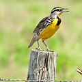 Meadowlark 7 by Amy Spear
