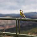 Meadowlark Sings by MH Ramona Swift