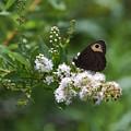 Meadowsweet Wood Nymph by Randy Bodkins
