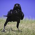 Menacing Crow by Chris Cousins