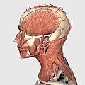 Medical Illustration Showing Human Head by Stocktrek Images