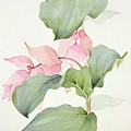 Medinilla Magnifica by Sarah Creswell