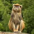 Meditating Monkey by Marv Vandehey