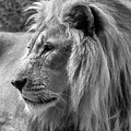 Meditative Lion In Black And White by Michelle Meenawong
