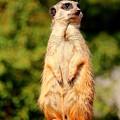 Meerkat 2 by Heike Hultsch