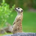Meerkat by Anita Hiltz