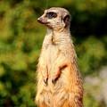 Meerkat by Heike Hultsch