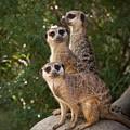 Meerkat Hill by Chad Davis
