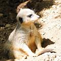 Meerkat by Kathleen Struckle