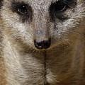 Meerkat Looking At You by Nadalyn Larsen