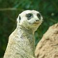 Meerkat by Loretta Orr