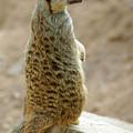 Meerkat Portrait by Carlos Caetano