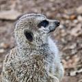 Meerkat Portrait by Douglas Barnett