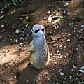 Meerkat Responding by Douglas Barnett