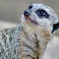 Meerkat by Sam Davis Johnson