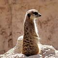 Meerkat Standing On Rock And Watching by Goce Risteski